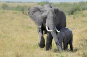 Loving Elephant mother and calf — Stock Photo