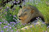 Portrait male lion and green grass with purple flowers — Foto Stock