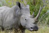 Rhino with two large horn cloe-up portrait — Stock Photo