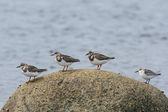 Four Shorebirds on a Rock — Stock Photo