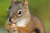 Red Squirrel Close-up — Stock Photo