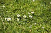 Spring White Daisies — Stock Photo