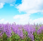 Nature with lavender flowers — Stock Photo