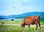 Cow on the green field — Zdjęcie stockowe