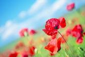 Poppy field and blue sky — Stock Photo