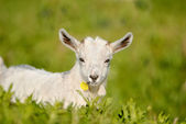 Nanny she goat, kid with flower in its mouth — Stock Photo