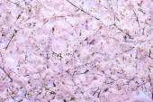 Spring cherry tree in bloom — Stock Photo