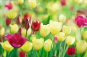 Colorful tulips on nature background — Stock Photo