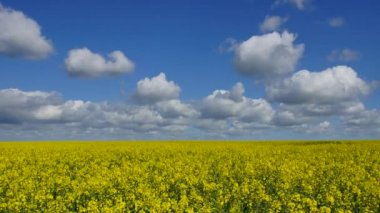 Panoramic time-lapse of Rape field — Stock Video