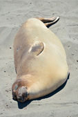Seal in Big Sur — Stock Photo