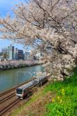 Cherry blossoms in Tokyo, Japan — Stock Photo