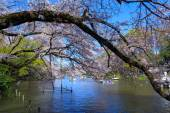 Cherry blossoms in Tokyo — Stock Photo