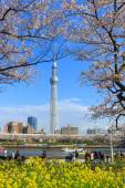 Cherry blossoms and the Tokyo Skytree in Tokyo — Stock Photo