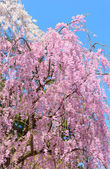 Weeping Cherry blossoms — Stock Photo