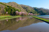 Cherry blossoms in Omachi, Nagano, Japan — Stock Photo