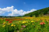 Flowers on the Fujimi Highland — Stock Photo
