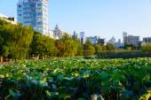 Lotus at the Shinobazu Pond — Stockfoto