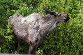 Cow Moose — Stock Photo