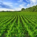 Corn field — Stock Photo #72390935