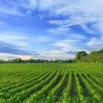 Corn field — Stock Photo #72391793