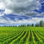 Corn field — Stock Photo #72391881
