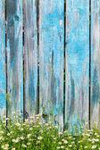 Ahşap çit bir arka plan üzerinde papatya çiçekler — Stok fotoğraf
