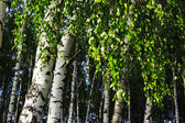 Forest birch — Stock Photo