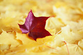 Maple leaves in autumn colours — Stockfoto