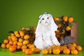 Cat in costume Sheikh sells tangerines — Stock Photo