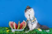 Cat in the hat eating watermelon — Stock Photo