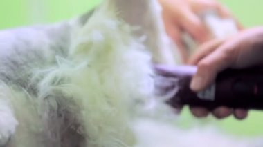 Domestic Cat Grooming — Stok video