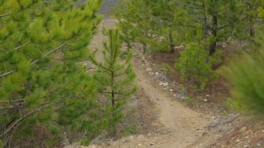 EDITORIAL. One Cyclist Moving Slowly Downhill In Pine Forest — Stock Video