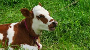 Chewing White And Brown  Calf Lying On Green Pasture — Stock Video