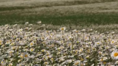 Bloeiende Chamomiles zwaaien op Wind op het gebied — Stockvideo
