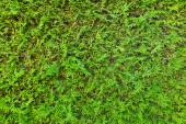 Green hedge, full frame — Stock Photo