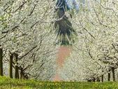 Blooming fruit trees in spring — Stock Photo