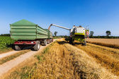 Cereal field of wheat at harvest — Stock Photo