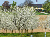Blossoming fruit trees in spring — Foto de Stock