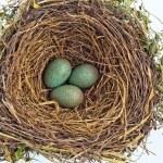 A blackbird eggs in a bird nest — Stock Photo #58650057
