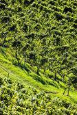 Weintrtauben su vite in vigna — Foto Stock
