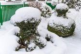 Snowy ornamental tree — Stock Photo