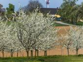 Drzew owocowych kwitnących wiosną — Zdjęcie stockowe