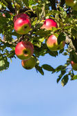 Apples in the fall of an apple tree — Stock Photo