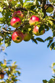 Apples in the fall on an apple tree — Stock Photo