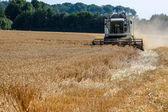 зерновые поля пшеницы в период сбора урожая — Стоковое фото