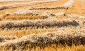 Cornfield with wheat — Stock Photo