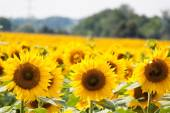 Sunflowers in bright yellow on a field — Stock Photo