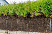 Fence and green hedge — Stock Photo