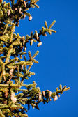 Pine cones and blue sky — Stock Photo