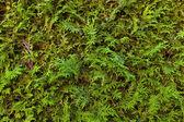 Green hedge, full frame — Stock Photo